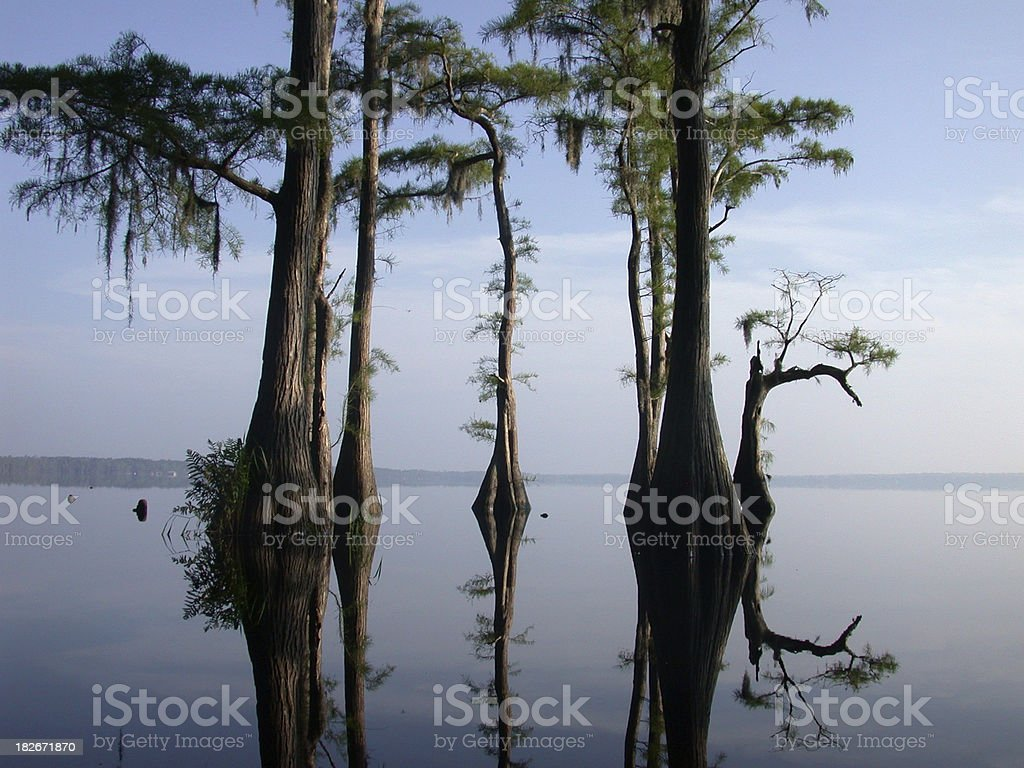 Cypress Trees royalty-free stock photo