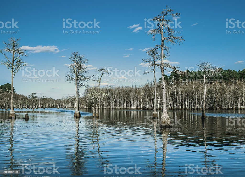 Cypress Trees Standing in the Water stock photo
