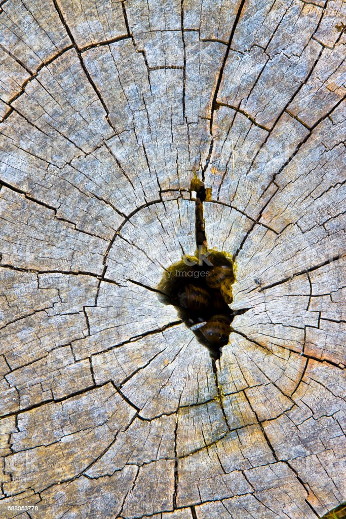 Cypress tree's stump in the nature stock photo