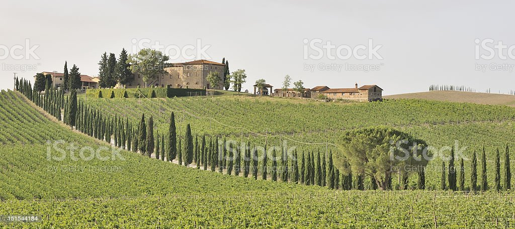 Cypress trees through vineyard royalty-free stock photo