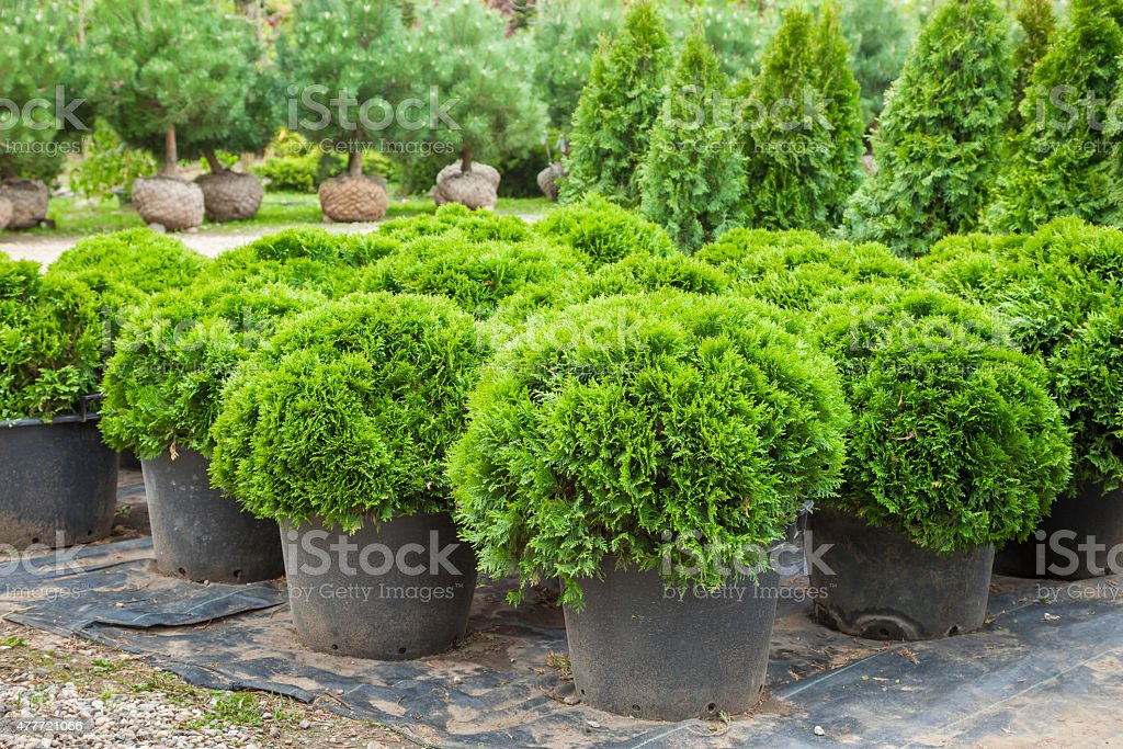 Cypresses plants  on tree farm stock photo