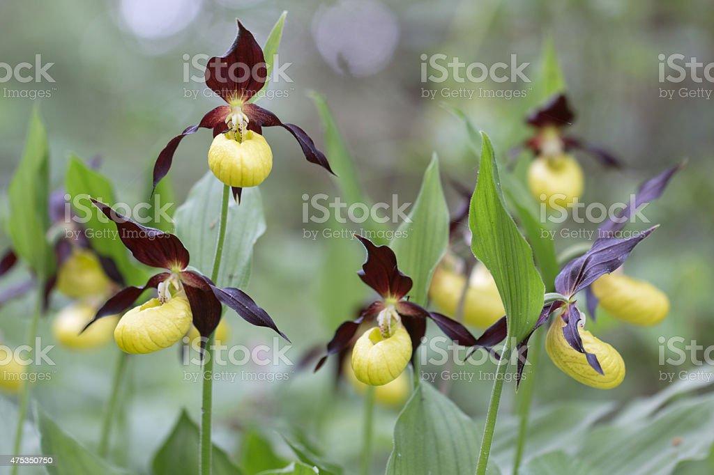 Cypripedium calceolus, lady slipper orchid stock photo