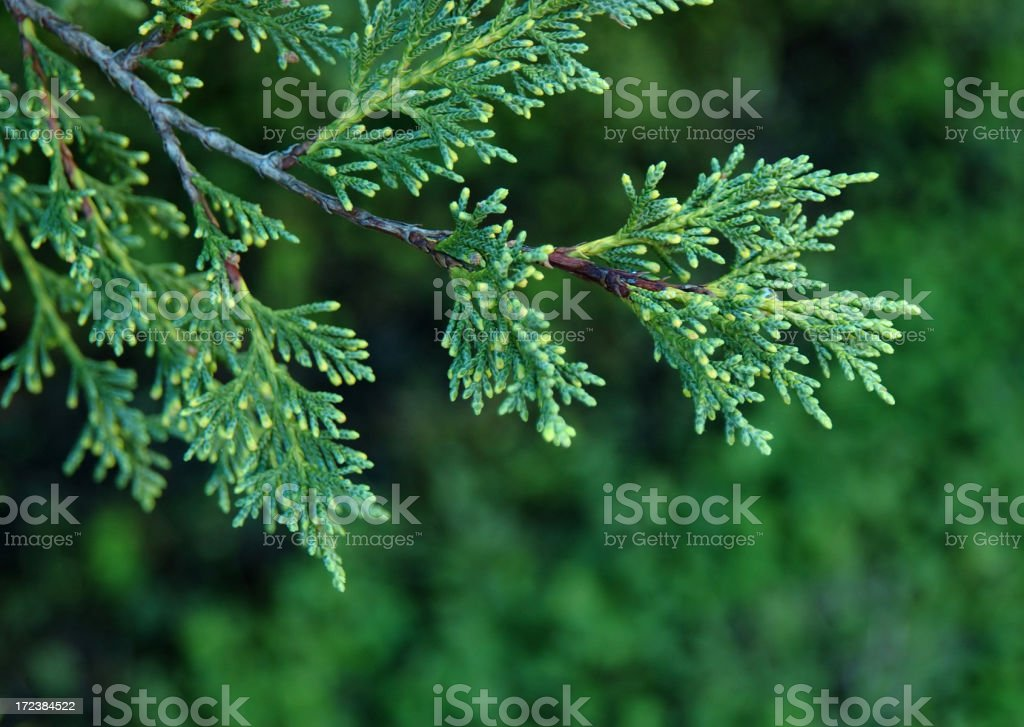 Cyprus branch stock photo