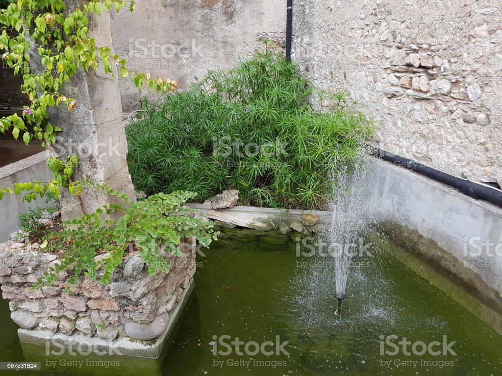Cyprus grass, Cyperus, alternifolius foto stock royalty-free