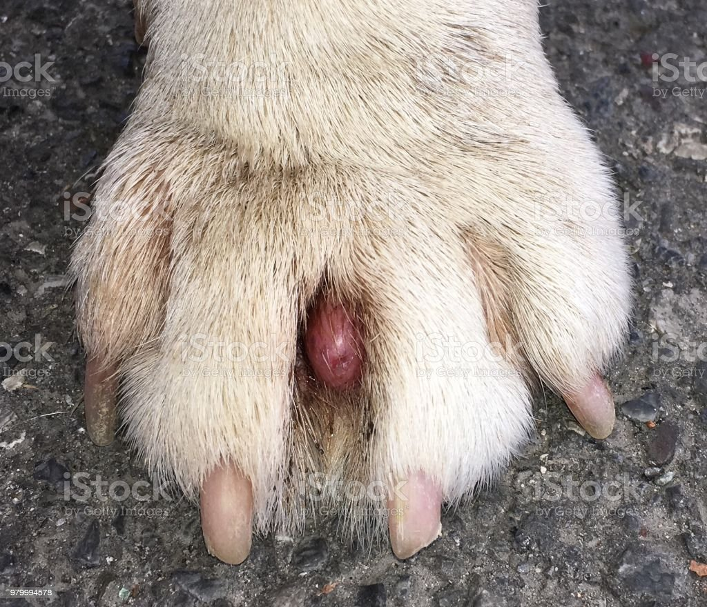 cyst in the paw of a dog stock photo