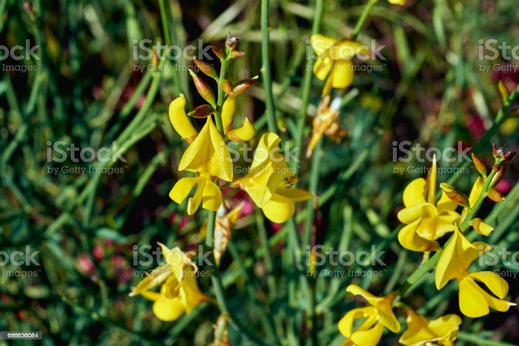 Cytisus im Frühling Lizenzfreies stock-foto