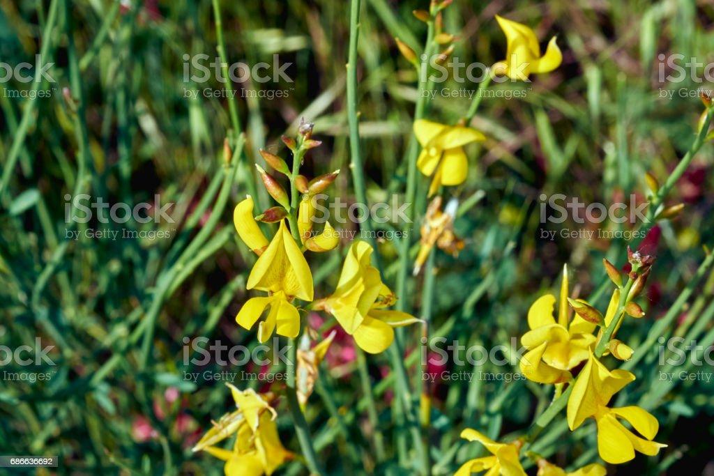 cytisus in springtime royalty-free stock photo