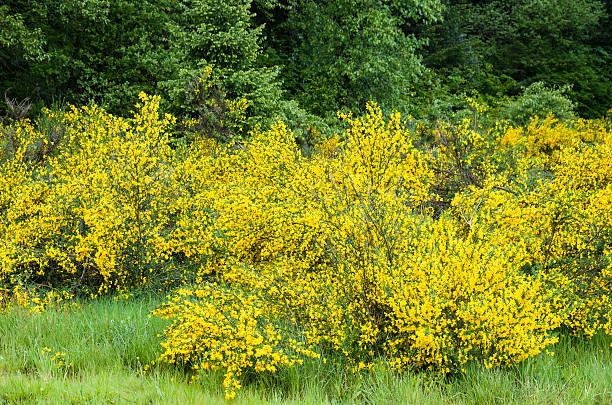 Cytisus Scorparius or Scotch broom stock photo