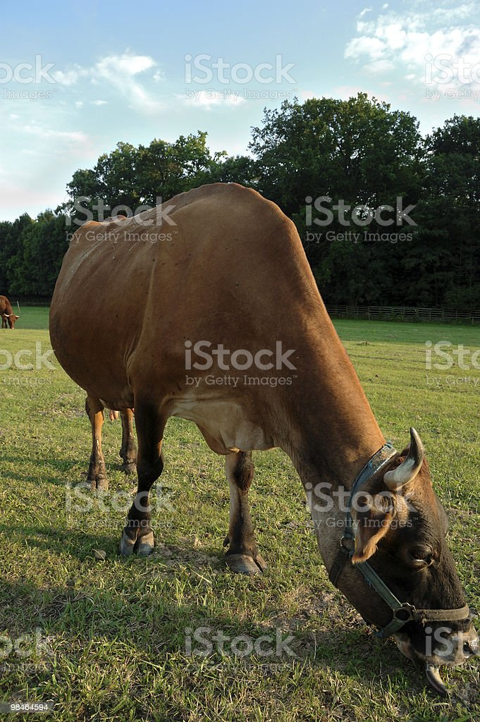 Czech republic landscape with cow royalty-free stock photo