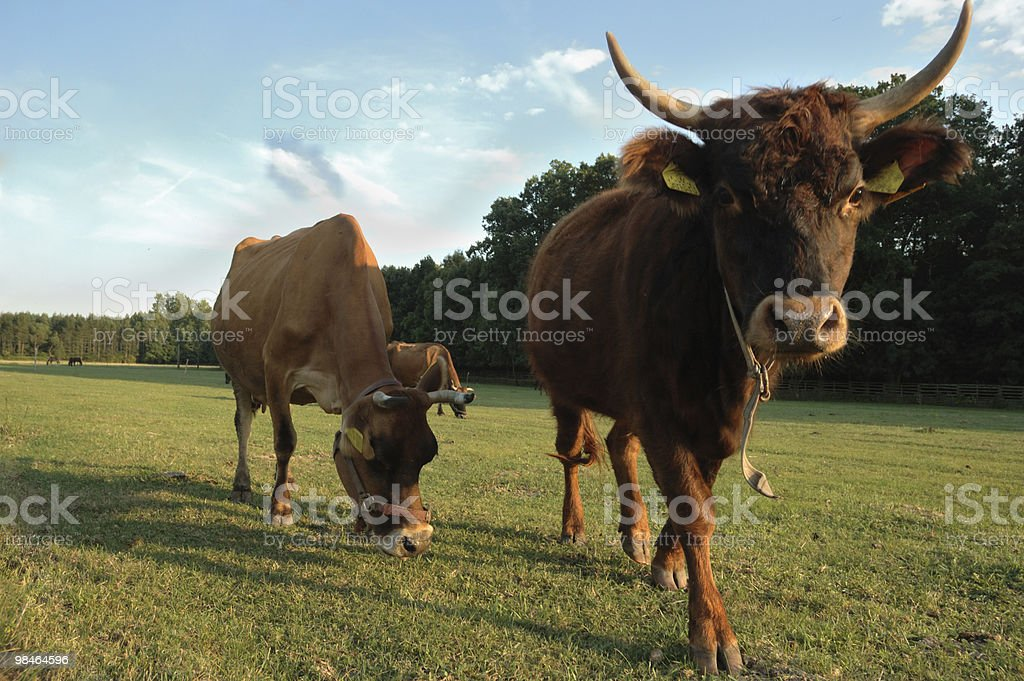 Czech republic landscape with cows royalty-free stock photo