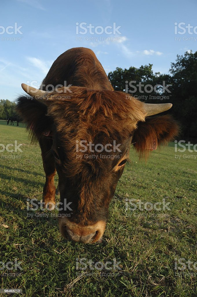 Czech republic landscape with head of cow royalty-free stock photo