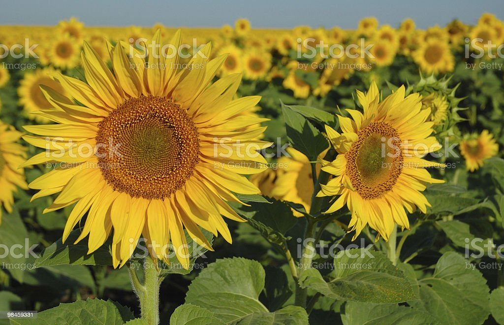 Czech sunflower fields royalty-free stock photo