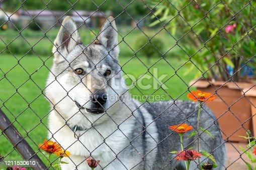 Czechoslovakian wolfdog dog behind the fence. Czech Republic