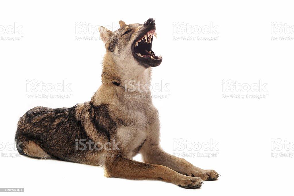 Czechoslovakian Wolfdog royalty-free stock photo