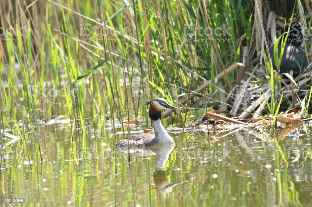 dabchick crested sitting in the nest with baby on the lake bush - Zbiór zdjęć royalty-free (Australia)