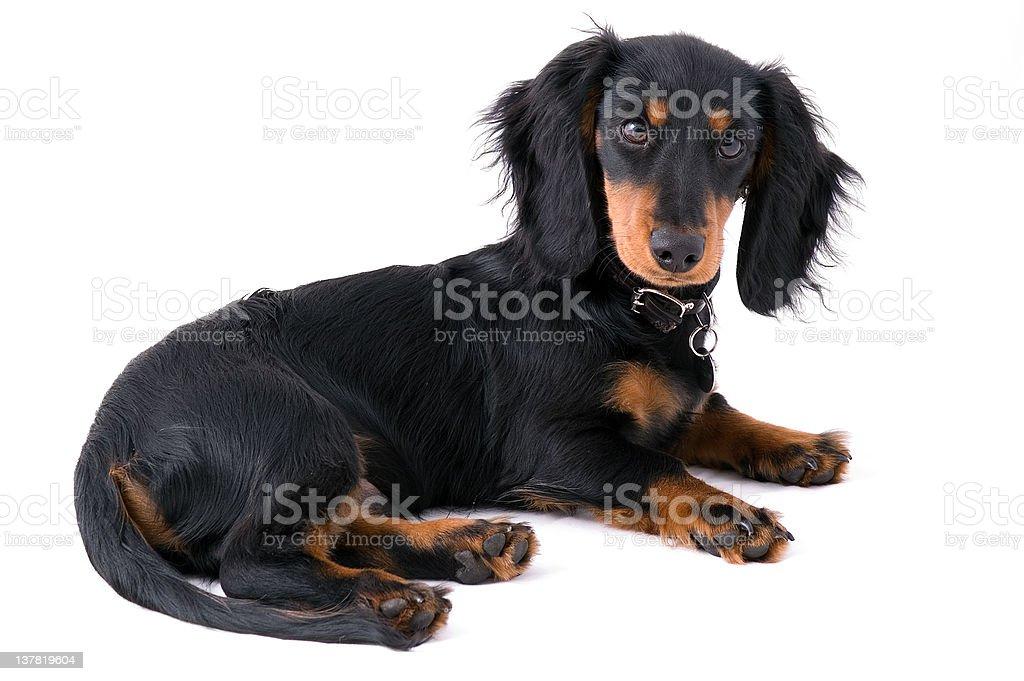Dachshound puppy royalty-free stock photo