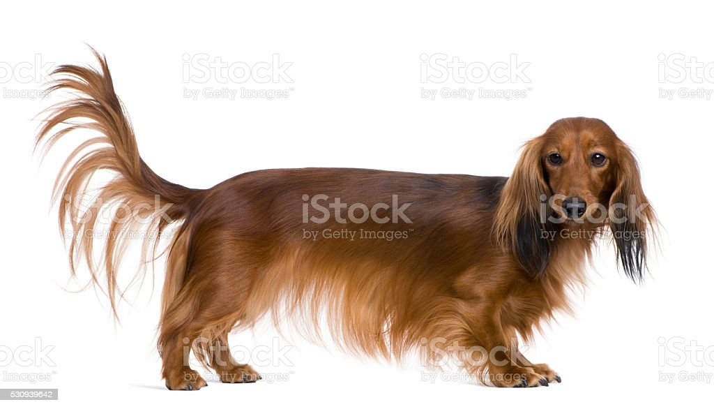 Dachshund, 2 years old, in front of white background stock photo