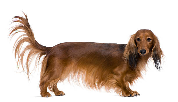 dachshund, 2 years old, in front of white background - tail stock photos and pictures