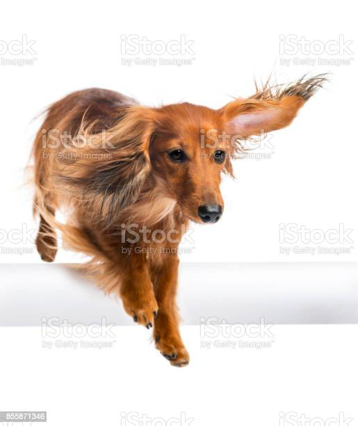 Dachshund 4 years old jumping over white tube against white picture id855871346?b=1&k=6&m=855871346&s=612x612&h=nohz808uux9fhneq5nv6 406z5awtwkf4 7rrzsg9ja=