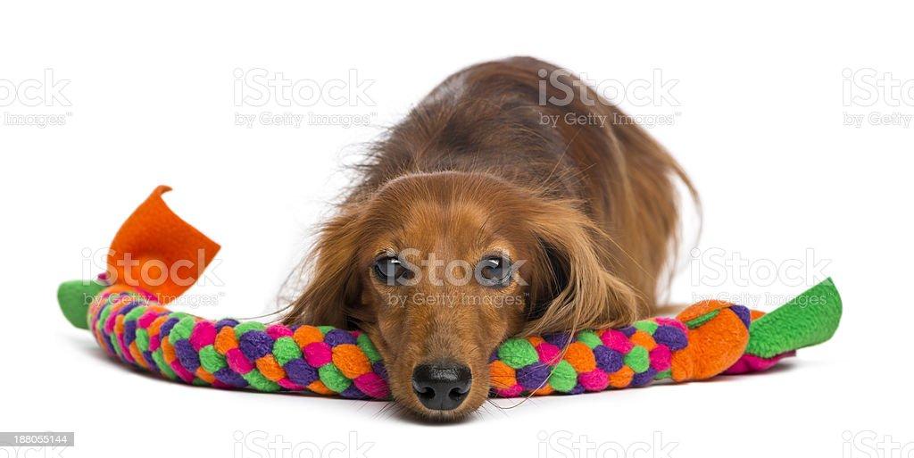 Dachshund, 4 years old, lying on dog toy isolated royalty-free stock photo