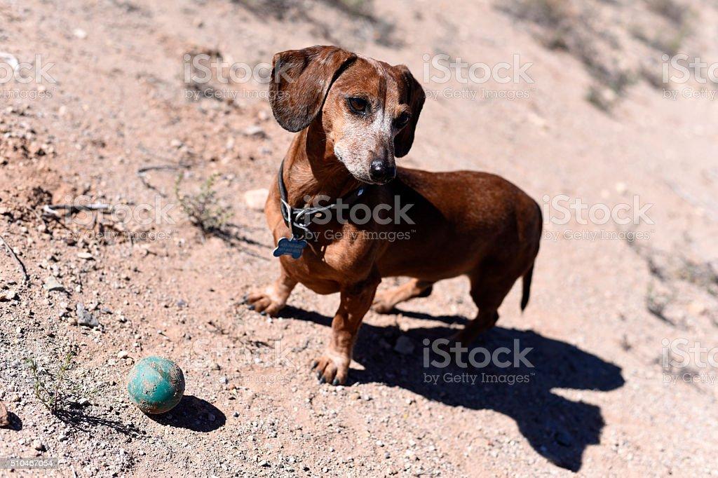 Dachshund and ball stock photo