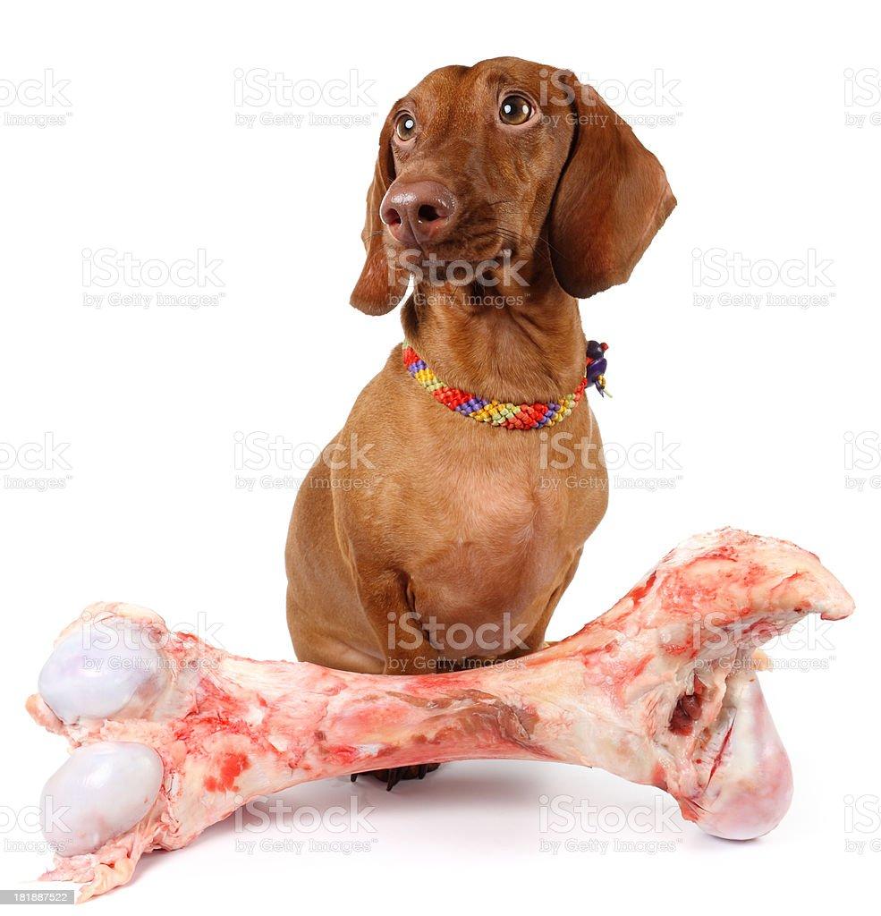 Dachshund and Bone royalty-free stock photo