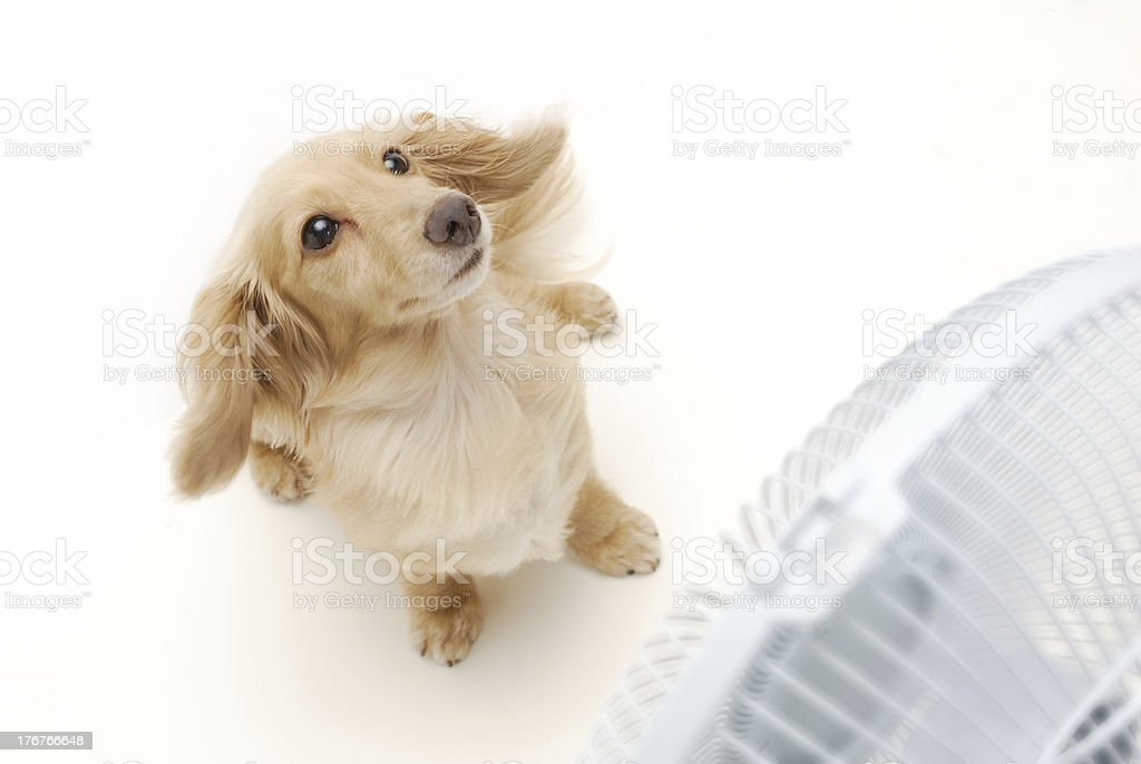 Dachshund and fan royalty-free stock photo