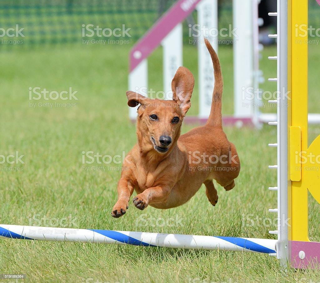 Dachshund at a Dog Agility Trial stock photo