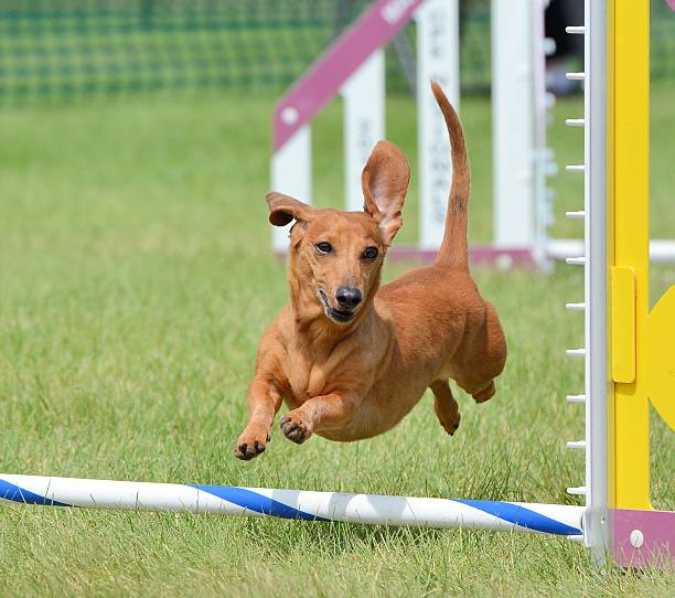 Rugby Dog Agility Show: Top 60 Dog Agility Stock Photos, Pictures, And Images