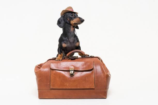 chien de race teckel, noir et feu, dans les peuplements de chapeau de cowboy sur la valise vintage est isolé sur fond gris - valise humour photos et images de collection