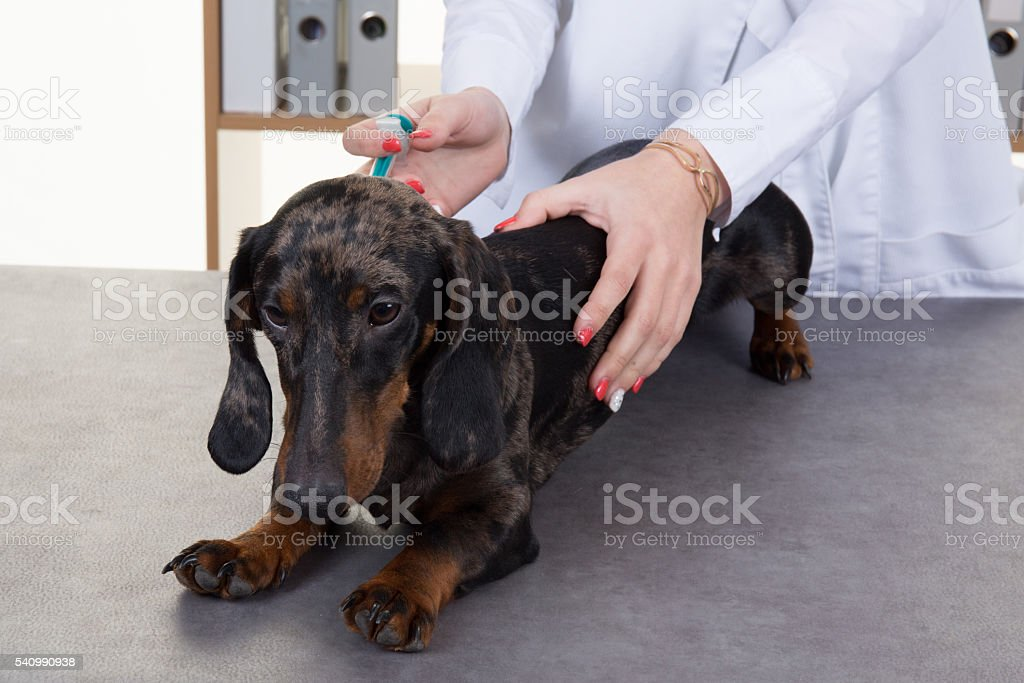 Dachshund breed dog is holding a little dog stock photo