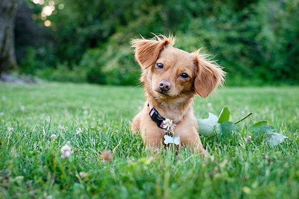 Dachshund  Chihuahua Mixed Breed Dog Outdoors stock photo