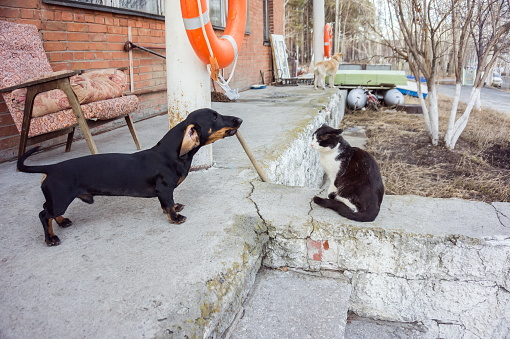 Dachshund dog barks at calmly sitting cat, on the porch, in the spring.