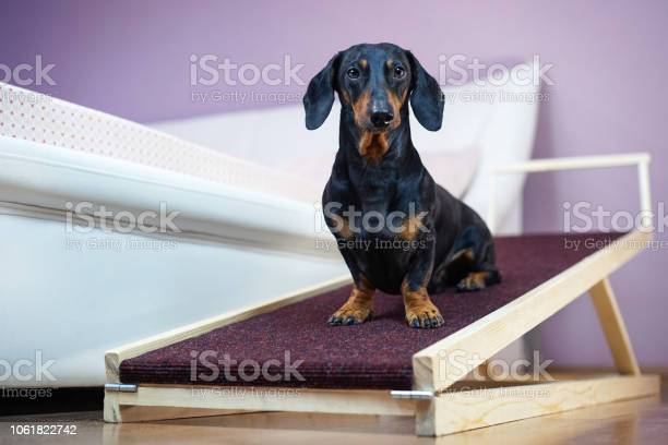 Dachshund dog black and tan sits on a home ramp safe of back health picture id1061822742?b=1&k=6&m=1061822742&s=612x612&h=hy7ziiqx7led9rlphgaehbh01bh2tr5garf4fs1qi2m=