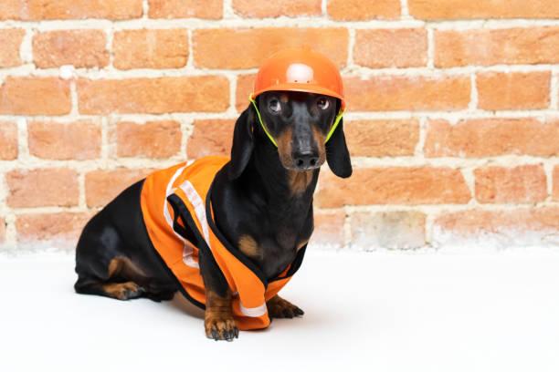 dackel hund, black and tan, sitzt im hintergrund eine mauer in einer orange bau-weste und helm während einer gebäudesanierung, verängstigt aufsieht. - hundezubehör diy stock-fotos und bilder