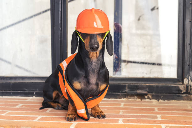 dackel hund, black and tan, sitzt auf dem hintergrund von einem schmutzigen fenster und wand, in einem orange bau weste und helm während einer gebäudesanierung - hundezubehör diy stock-fotos und bilder
