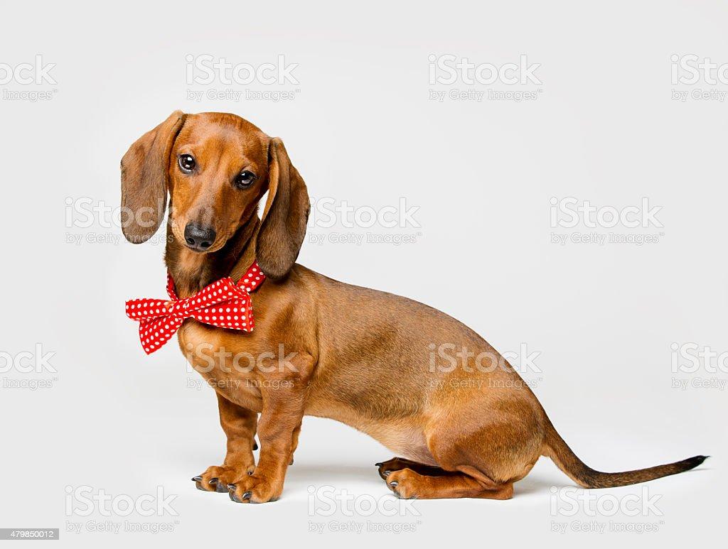 Dachshund Dog Bow Tie,  White Background, Funny Animal Dressed Clothing stock photo