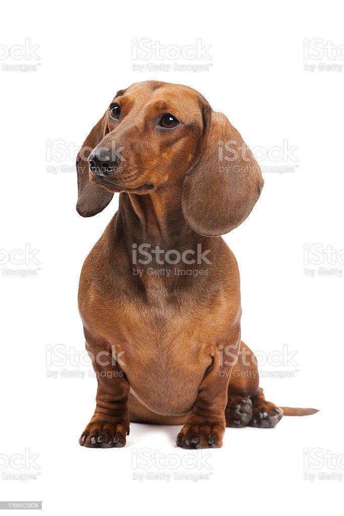 Dachshund Dog isolated over white background stock photo