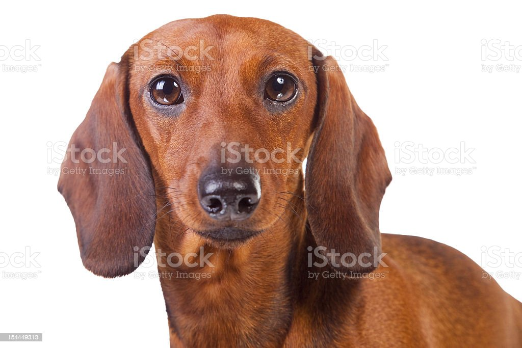 Dachshund Dog on isolated white royalty-free stock photo