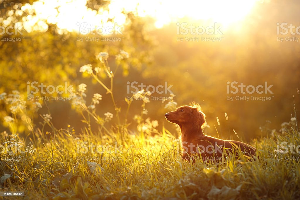 Dachshund dog on the nature stock photo