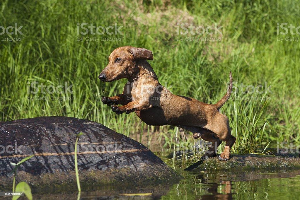 Dachshund dog royalty-free stock photo