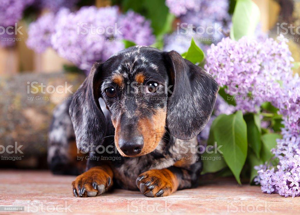 dachshund dog stock photo