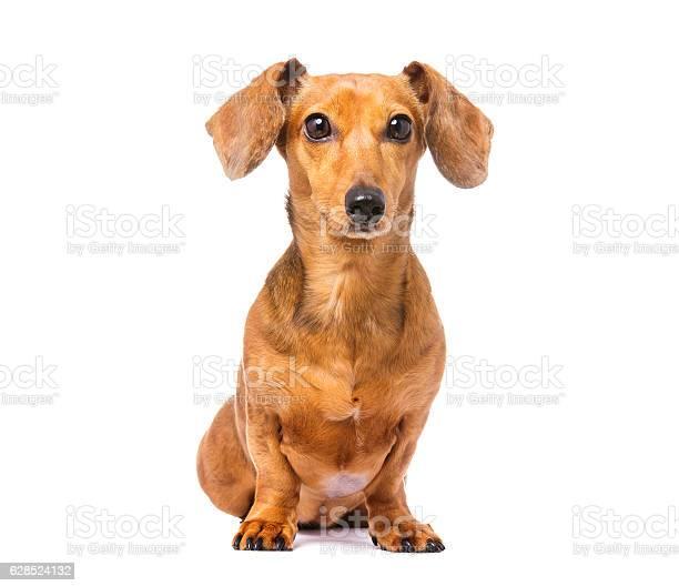Dachshund dog picture id628524132?b=1&k=6&m=628524132&s=612x612&h=hvfbqa9y7hmz5yzngigkybbp8jbyrsj 5gqr0kxykym=