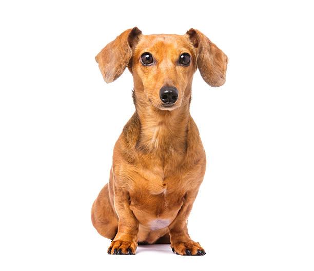 dachshund dog - tax bildbanksfoton och bilder