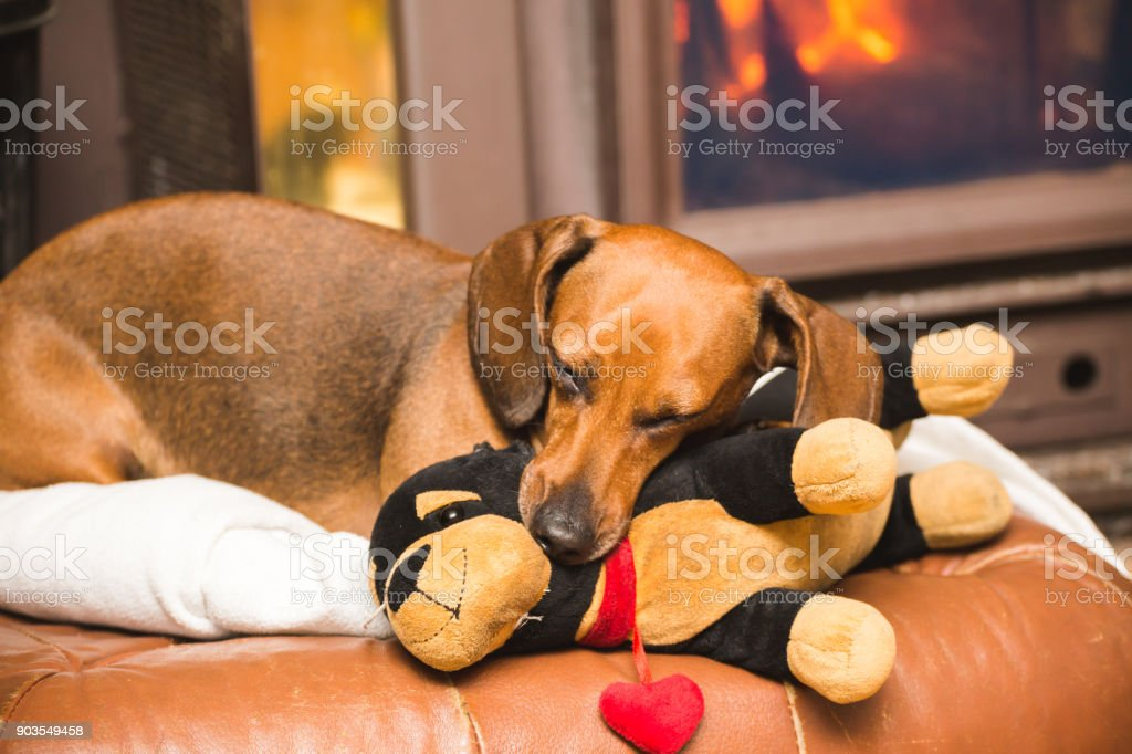 Dachshund Dog Relaxing with Stuffed Toy stock photo