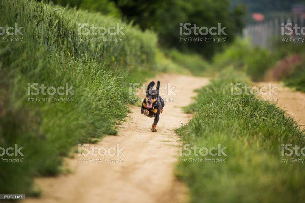 Dachshund dog running on a dirt road. royalty-free stock photo