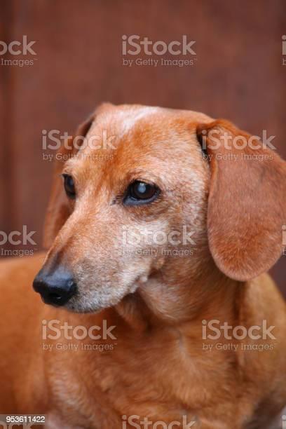 Dachshund dog spring garden picture id953611422?b=1&k=6&m=953611422&s=612x612&h=smpm6xg5tjwcptdhrnbmgtydpxsvqkh7twz 9klwr y=