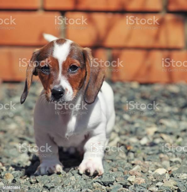Dachshund dog spring garden picture id953825884?b=1&k=6&m=953825884&s=612x612&h=7ckg rqwsjxyzt zgs20jssibc48i i8 au7tmmyskg=