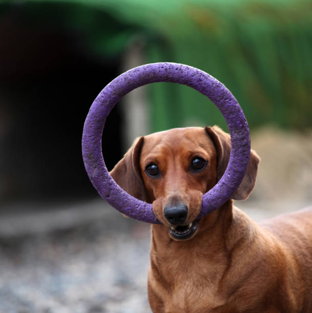 Dachshund dog spring garden picture id954454896?b=1&k=6&m=954454896&s=612x612&w=0&h=pzsrbcjiskrg54yn56ns2iilxow gmzkbd3ksd5nyvm=