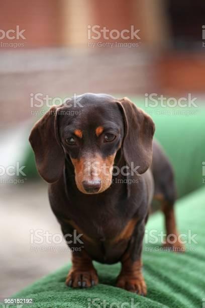 Dachshund dog spring garden picture id955152192?b=1&k=6&m=955152192&s=612x612&h=qqhnai wlgz oe7cbt37gozbgek wsrgdcpy3mse0jk=
